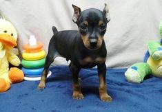 Miniature Pinscher Puppies For Sale Miniature Doberman Pinscher, Mini Doberman, Doberman Pinscher Puppy, Mini Pinscher, Min Pin Puppies, Puppies For Sale, Cute Puppies, Cute Dogs, Dogs And Puppies
