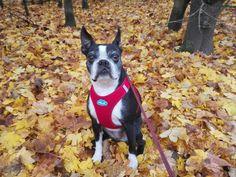 Autumn girl. My Lola, a 7 year old Boston terrier.