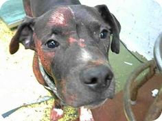 Atlanta, GA - American Pit Bull Terrier. Meet CHARLES, a dog for adoption. http://www.adoptapet.com/pet/16419637-atlanta-georgia-american-pit-bull-terrier