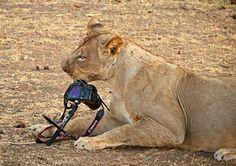 Lion Comendo Canon 5D Mark II!