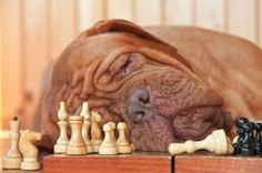 Smart #Dogue-de-Bordeaux  fell asleep at Playing Chess