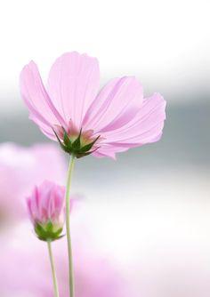 cosmos flowers by Natthawut Punyosaeng on 500px