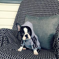 "2,198 Likes, 15 Comments - @thebostonterrierlove on Instagram: ""Get your Bostonterrier T-Shirt by clicking on the link in my bio (profile)➡@thebostonterrierlove…"""