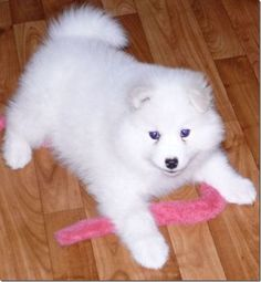 simoid dogs | The White Samoyed Dog Of Russia