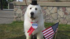Мы как-то писали о том, что кот был долгое время мэром города на Аляске. Вот и собаки не остались в стороне. Так, пес по кличке Duke является мэром города Cormorant, что в Миннесоте.  #кошка #кот #котики #котята #собака #пес #щенки #кормдлякошек #кормдлясобак #cat #dog #catsanddogs #pets #покормизверя #feedthebeast