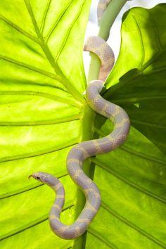 Lavender color morph