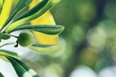Nieuw in mijn Werk aan de Muur shop: Detail van een olijfboom