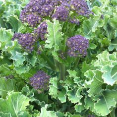 The Lint Mill, Glasgow and the Clyde Valley. The purple sprouting broccoli is looking delicious. We'll serve it with the slow roast shoulder of home reared lamb with olives, anchovies and rose wine http://www.organicholidays.co.uk/at/3270.htm