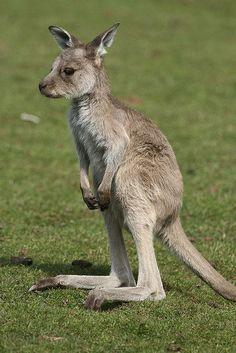 Das Känguru sieht ziemlich verlassen und traurig aus!