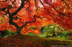 - Mama Nature is quite an artist!  The Maple Tree