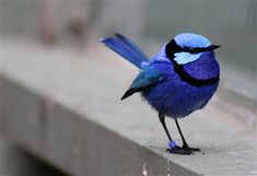Blue wren ~ Every time I look at this pic, it makes me smile!  LOVE the color and shape of this sweet little bird.