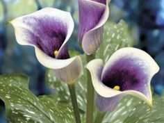 Things to Know about the Calla Lily Flowers