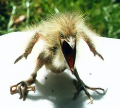 Baby American bittern showing its war face.                                                                                                                                                             (via Pinterest: Discover and save creative ideas)
