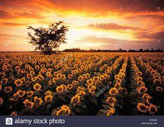 sunflower field near Oakbank, Manitoba, Canada Stock Photo, Royalty Free Image: 18015346 - Alamy Sunflower Fields, Stars And Moon, Love Photography, Amazing Nature, Royalty Free Images, Google Images, Places To Go, Sunrise, Bloom