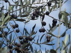olive by giagir, via Flickr