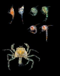 Larval arthropod stages. Clockwise from top left: two shrimp, two fiddler crabs, two sea spiders, and a decapod.