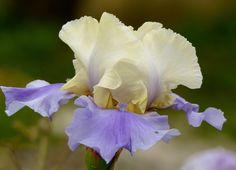 les iris de ma voisine se sont ressemés dans mon jardin et