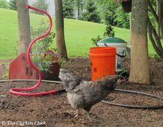 Beat the Heat: Helping Chickens Survive High Temps. Lots of tips for keeping chickens comfortable and safe. ~The Chicken Chick