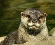Another cute otter portrait - April 19, 2013