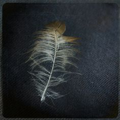 Fine Feather : Photographic print of a small, white, brown and black feather, against a dark background. Reminicient of naturalistic sketch