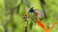 .....and a very Happy Father's Day! Such devotion.... thank you, dads! ...     An adult male Asian paradise flycatcher feeding a chick
