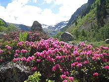 À l'époque médiévale, le rhododendron était appelé « Rosage », terme qui a été conservé jusqu'au xviiie siècle,  associé au scorpion.