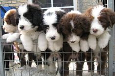 Bearded Collie puppies, the sweetest, smartest dogs around!