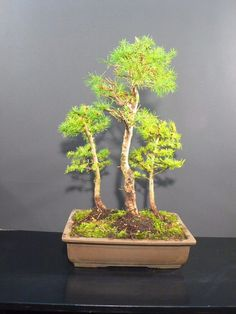 *rs Bonsai Larix kaempfei jap.Lärche Wald L3