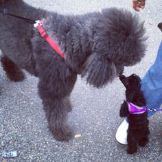 Standard Poodle and Tiny Toy Poodle