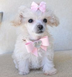 Pink Spring The Miniature Poodle Canine Breed: The Poodle is a square-proportioned canine . Poodle often seem active, Intelligent and elegant. 88 Obtainable for Adoption. I Love Dogs, Puppy Love, Cute Dogs, Tea Cup Poodle, Dogs And Puppies, Poodle Puppies, Doggies, Teacup Puppies, In This World
