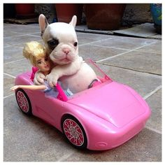 Piglet and her friend @Barbie going for a Sunday afternoon drive!  Thanks to @piglet_thefrenchiepup