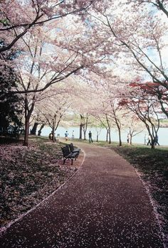 Cherry Blossom Festival, Tidal Basin, Washington D.C. USA
