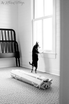 Chihuahua at the Window | Planked Walls | Flor Carpet Squares