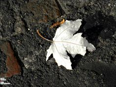 ALBINO SNOW LEAF... by Richelle Desiree