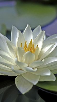 Gorgeous white water lilies...a pond full of these beauties would be glorious.!!