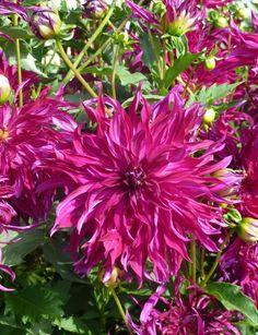 Dahlia 'Bangkok Violet'