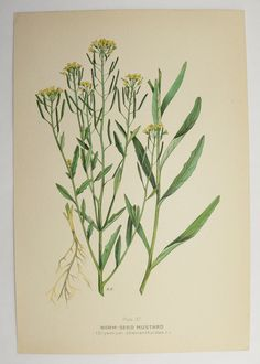Yellow Mustard Herb Botanical Print 1923 Vintage Wild Flower Art Print Spring Gift Idea for the Home Cottage Garden Flower Mothers Day Gift by OldMapsandPrints on Etsy
