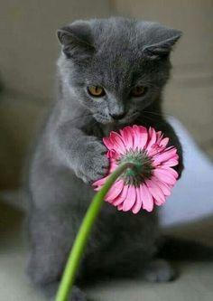 Kitten holding pink daisy