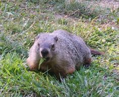 Groundhogs are known for their extensive burrowing. These animals may be cute and cuddly looking but when they wander into our gardens, they can quickly wreak havoc on plants and crops. Get help for that here. Groundhog Repellant, Get Rid Of Groundhogs, Getting Rid Of Raccoons, Garden Guide, Garden Ideas, Backyard Ideas, Groundhog Day, Garden Pests, Pest Control