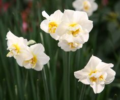 100 best names of spring flowers images on pinterest in 2018 narcissus cheerfulness hs 04m x 01m position full sun or part shade mightylinksfo