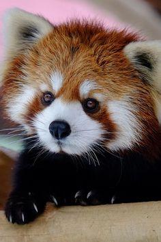 Red Panda (by Hiroshi Okamoto)