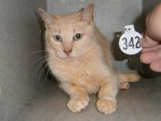Gaston Co. NC FEMALE  Breed DOMESTIC SHORT HAIR Color TAN TABBY  Cage # Q16 Age 1-2 yrs Adopt/Rescue/ Euthanasia Date 05/30/2013  RESCUE GROUP Admitted Date 05/28/2013  Area Pickup:  LONG CREEK RD, KINGS MTN