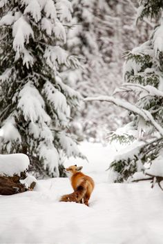 Fox in snowy evergreen forest****Follow our unique garden themed boards at www.pinterest.com/earthwormtec *****Follow us on www.facebook.com/earthwormtec for great organic gardening tips