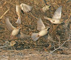 Birds of Israel - Passeriformes - Dead Sea Sparrow