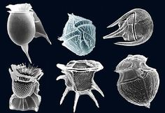 Dinoflagellates are very small marine plankton that when in a group produce a…