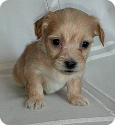 A Silky Terrier Chihuahua Mix Lily Pinterest Silky