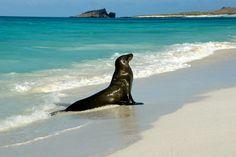 Beautiful Fur Sea Lion at the beach of Galápagos Islands.