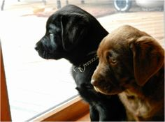// labs // i want a puppy <3