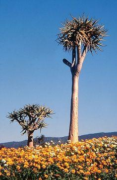 Quiver Trees - Clanwilliam, Western Cape