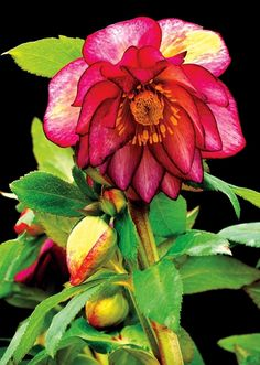 What are some varieties of perennials that flower in winter?